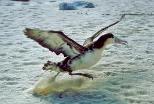 Phoebastria_albatrus (picture: Wiki)